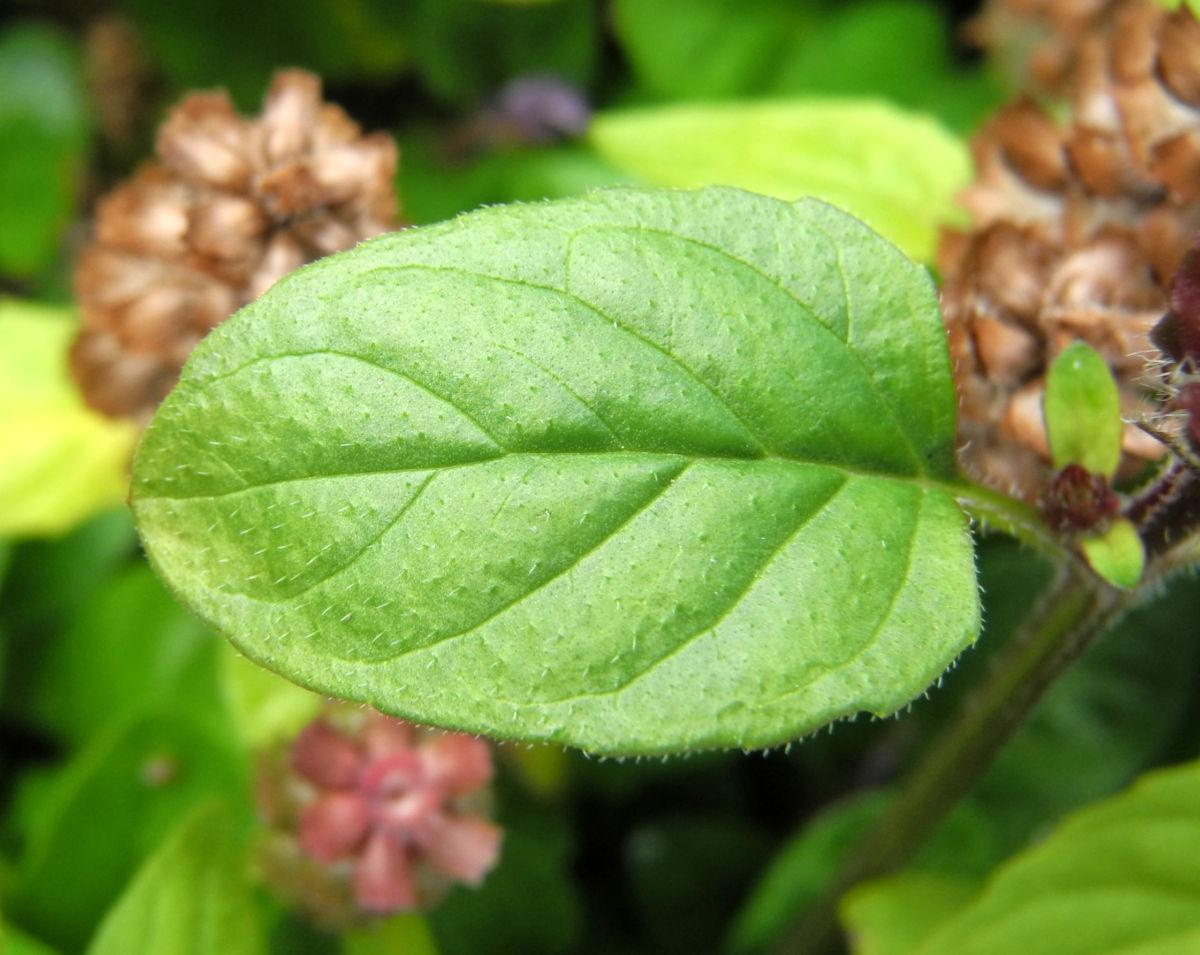 Gewoehnliche Braunelle Bluete lila Prunella vulgaris