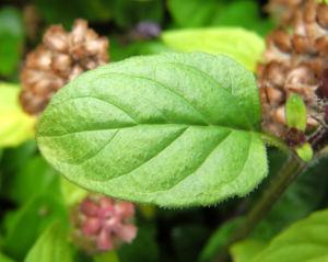 Gewoehnliche Braunelle Bluete lila Prunella vulgaris 02