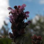 Bild: Gewöhnliche Braunelle Blüte lila Prunella vulgaris