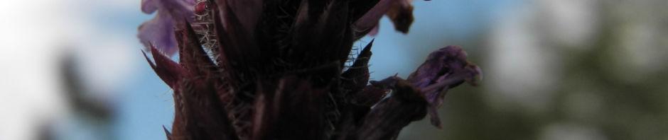 gewoehnliche-braunelle-bluete-lila-prunella-vulgaris