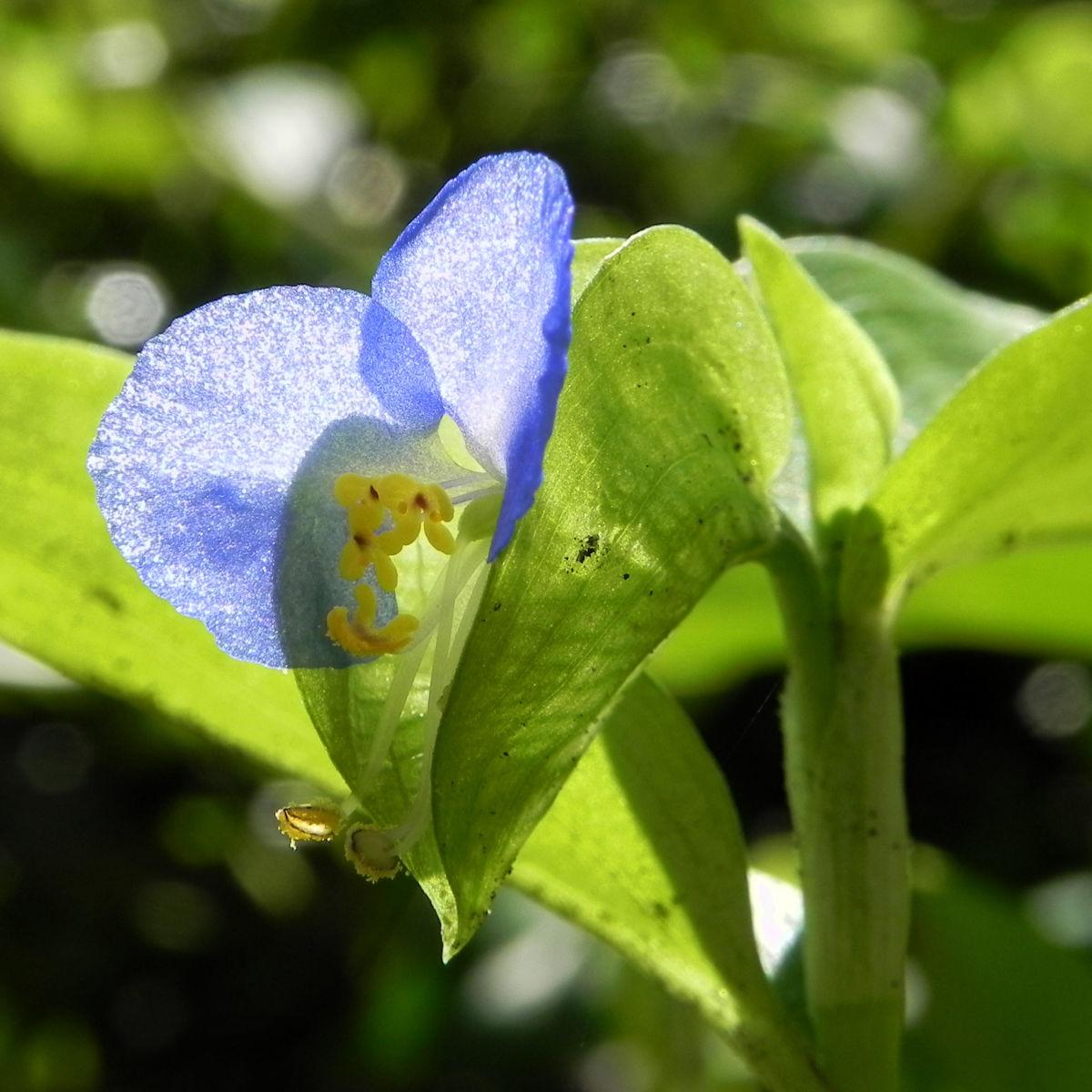 Gewoehnliche Commeline Bluete blau Commelina communis