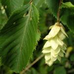Gewoehnliche Hopfenbuche Frucht beige Ostrya carpinifolia 03