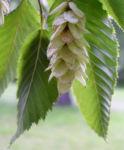 Gewoehnliche Hopfenbuche Frucht beige Ostrya carpinifolia 04