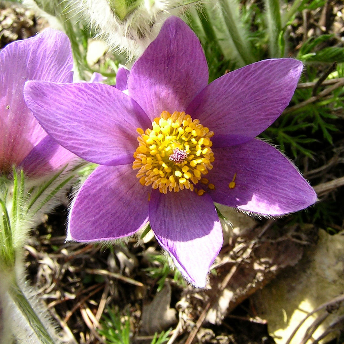 Gewoehnliche Kuechenschelle Bluete lila Pulsatilla vulgaris