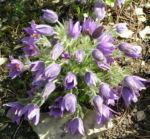Gewoehnliche Kuechenschelle Bluete lila Pulsatilla vulgaris 04