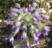 Zurück zum kompletten Bilderset Gewöhnliche Küchenschelle Blüte lila Pulsatilla vulgaris