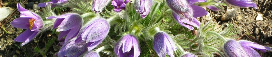 gewoehnliche-kuechenschelle-bluete-lila-pulsatilla-vulgaris