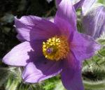 Gewoehnliche Kuechenschelle Bluete lila Pulsatilla vulgaris 05
