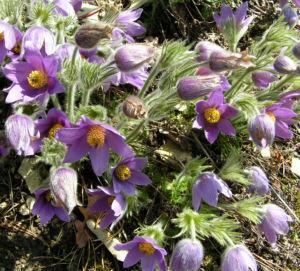 Gewoehnliche Kuechenschelle Bluete lila Pulsatilla vulgaris 06