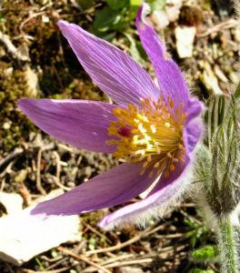 Gewoehnliche Kuechenschelle Bluete lila Pulsatilla vulgaris 07