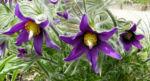 Gewoehnliche Kuechenschelle Bluete purpur Pulsatilla vulgaris 02