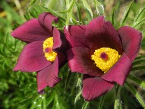 Gewoehnliche Kuechenschelle Bluete purpur Pulsatilla vulgaris 08