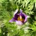 Zurück zum kompletten Bilderset Gewöhnliche Küchenschelle Blüte purpur Pulsatilla vulgaris