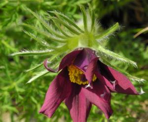 Gewoehnliche Kuechenschelle Bluete purpur Pulsatilla vulgaris 10