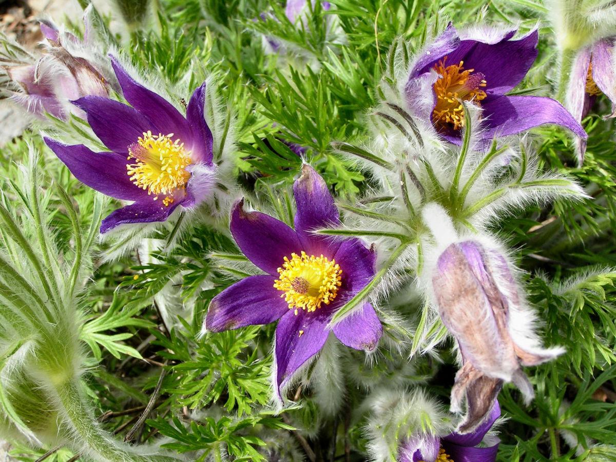 Gewoehnliche Kuechenschelle Bluete purpur Pulsatilla vulgaris