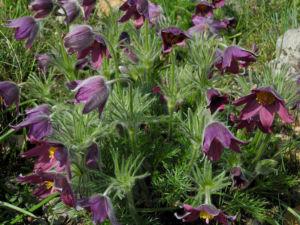Gewoehnliche Kuechenschelle Bluete purpur Pulsatilla vulgaris 14