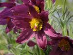 Bild: Gewöhnliche Küchenschelle Blüte purpur Pulsatilla vulgaris