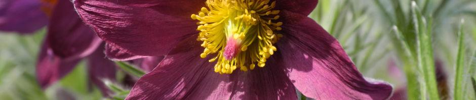 gewoehnliche-kuechenschelle-bluete-purpur-pulsatilla-vulgaris