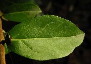 Gewöhnlicher Liguster Frucht schwarz Ligustrum vulgare