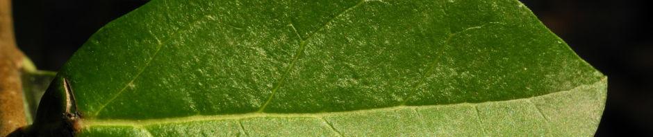 gewoehnlicher-liguster-frucht-schwarz-ligustrum-vulgare