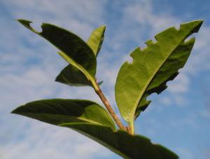 Gewoehnliche Liguster Blatt gruen Ligustrum vulgare 22