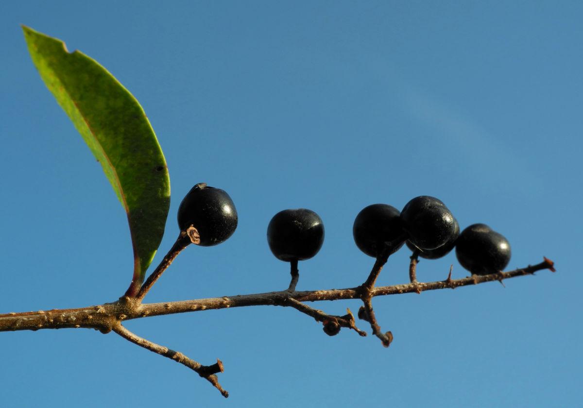 Gewoehnliche Liguster Frucht schwarz Ligustrum vulgare