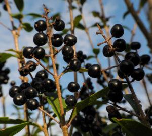 Gewoehnliche Liguster Frucht schwarz Ligustrum vulgare 27