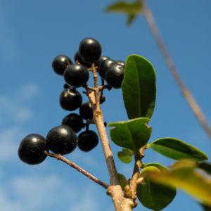 Gewoehnliche Liguster Frucht schwarz Ligustrum vulgare 29