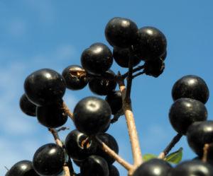 Gewoehnliche Liguster Frucht schwarz Ligustrum vulgare 30