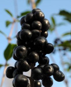 Gewoehnliche Liguster Frucht schwarz Ligustrum vulgare 33