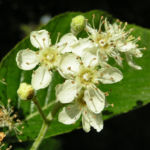 Gewoehnliche Mehlbeere Baum Bluete weiss Sorbus aria 01