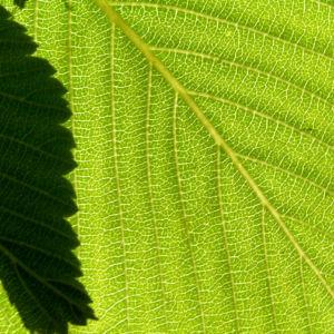 Bild: Gewoehnliche Mehlbeere Baum Bluete weiss Sorbus aria