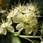 Gewoehnliche Mehlbeere Baum Bluete weiss Sorbus aria 04