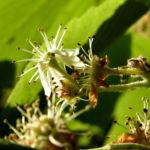 Gewoehnliche Mehlbeere Baum Bluete weiss Sorbus aria 05