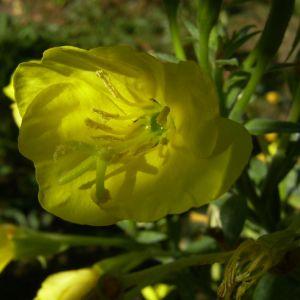 Gewoehnliche Nachtkerze Bluete gelb Oenothera biennis 03