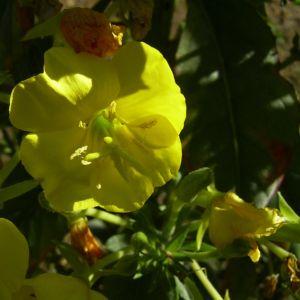 Gewoehnliche Nachtkerze Bluete gelb Oenothera biennis 04