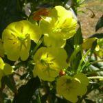 Gewoehnliche Nachtkerze Bluete gelb Oenothera biennis 05