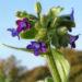 Zurück zum kompletten Bilderset Gewöhnliche Ochsenzunge Blatt Blüte blau lila Anchusa officinalis