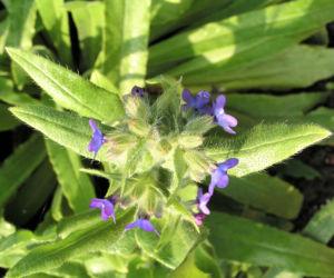Gewoehnliche Ochsenzunge Blatt Bluete blau lila Anchusa officinalis 04