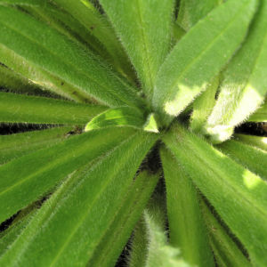 Gewoehnliche Ochsenzunge Blatt Bluete blau lila Anchusa officinalis 05