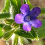 Gewoehnliche Ochsenzunge Blatt Bluete blau lila Anchusa officinalis 07