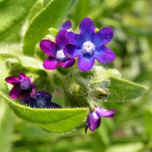 Gewoehnliche Ochsenzunge Blatt Bluete blau lila Anchusa officinalis 08