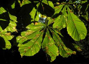 Gewoehnliche Rosskastanie Baum Blatt gruen Aesculus hippocastanum 09