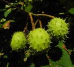 Gewoehnliche Rosskastanie Baum Frucht braun Aesculus hippocastanum 01