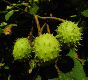 Bild: Gewoehnliche Rosskastanie Baum Frucht braun Aesculus hippocastanum
