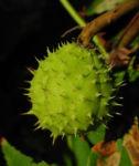 Gewoehnliche Rosskastanie Baum Frucht braun Aesculus hippocastanum 05