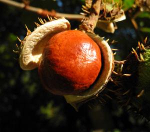 Gewoehnliche Rosskastanie Baum Frucht braun Aesculus hippocastanum 20
