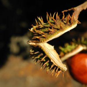 Gewoehnliche Rosskastanie Baum Frucht braun Aesculus hippocastanum 21