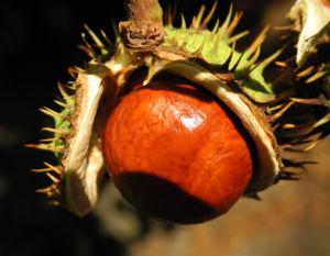 Gewoehnliche Rosskastanie Baum Frucht braun Aesculus hippocastanum 23