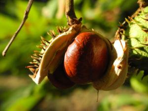 Gewoehnliche Rosskastanie Baum Frucht braun Aesculus hippocastanum 24